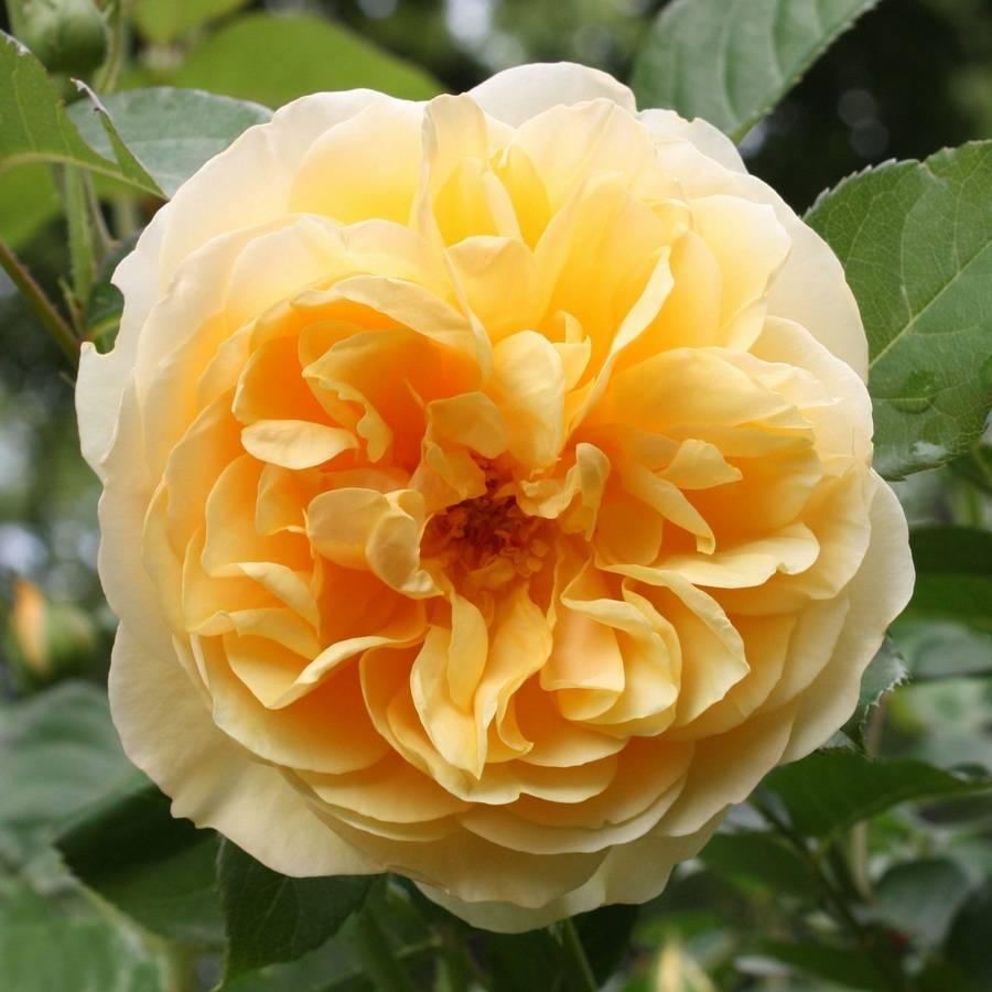 Выращивание чайно-гибридного сорта розы аскот: особенности формы цветков, уход
