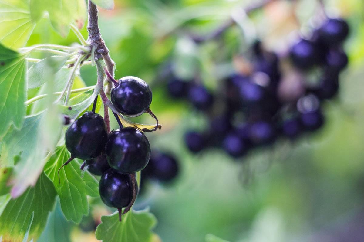 Выращивание йошта — гибрид смородины и крыжовника