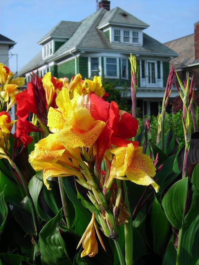 Цветок канна: посадка в открытый грунт и уход за растением