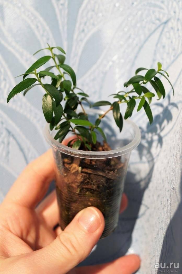 Уход за миртом в домашних условиях: выращивание, образка и размножение