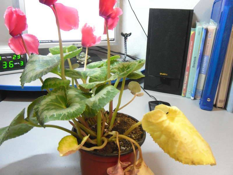 Из-за чего возникают проблемы в цветении юкки: причины, как бороться, стимуляция