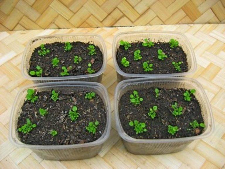 Как вырастить цинию из семян? когда сажать и как ухаживать?
