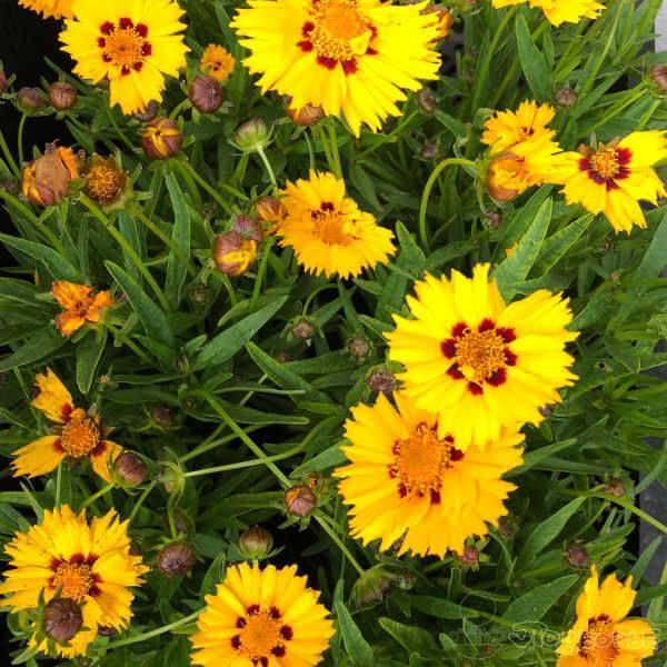 Кореопсис — солнышко в саду