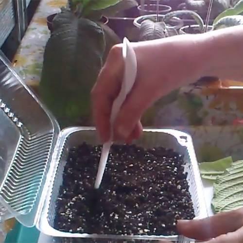 Стрептокарпус (80 фото): особенности выращивания стрептокарпусов в домашних условиях. выбор грунта для цветка. что делать, если у него сохнут кончики листьев?