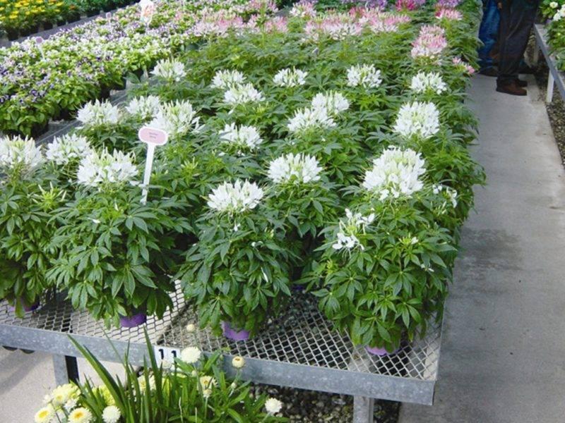 Клеома колючая — однолетний цветок-паук