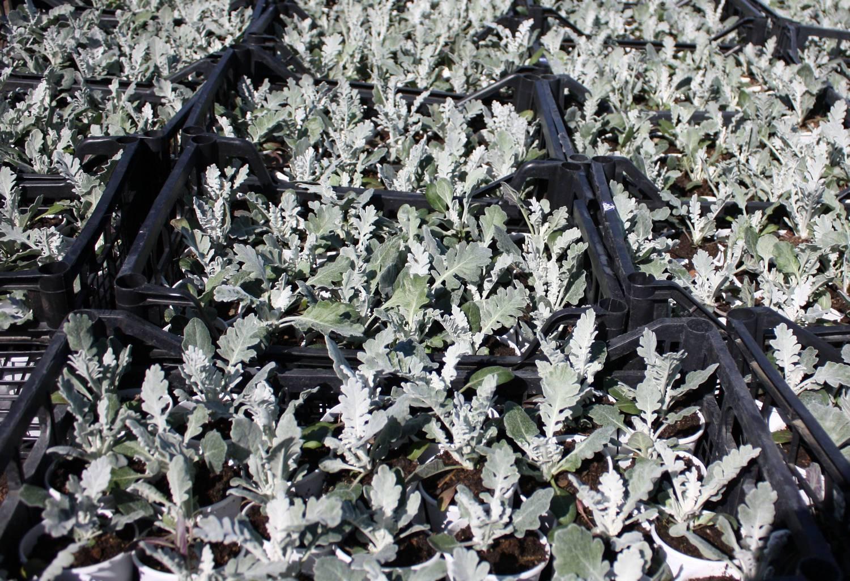 Цинерария комнатная: описание и выращивание