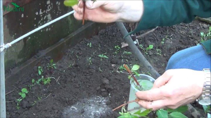 Тонкости размножения клематиса черенками летом