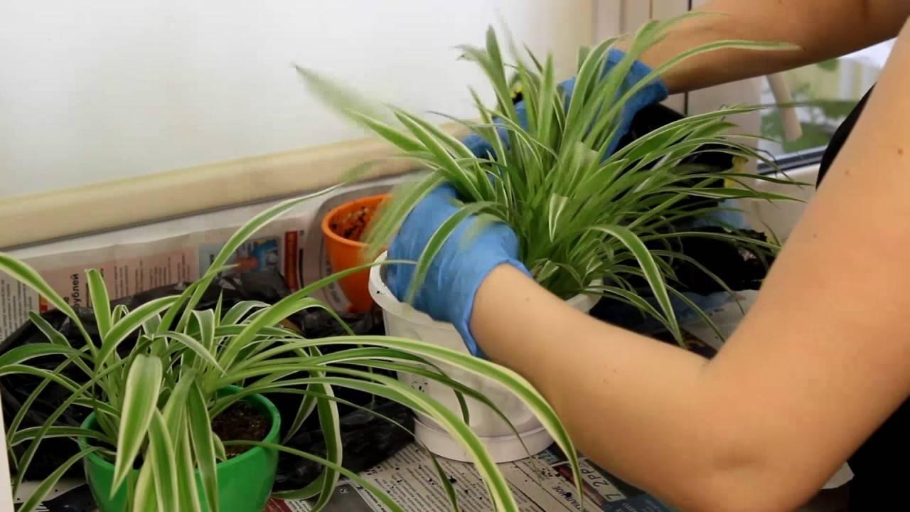 Виды хлорофитумов, выделяющих кислород: кучерявый, бонни кудрявый, жемчужный