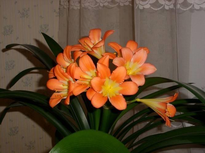 Уход за кливией в домашних условиях: почему она не цветет?