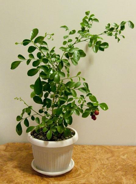 Мурайя в домашних условиях: выращивание из семян