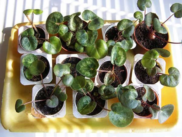 Цветок цикламен уход и выращивание в домашних условиях из семян и клубней: почему желтеют листья у цикламена и как ухаживать за цикламеном