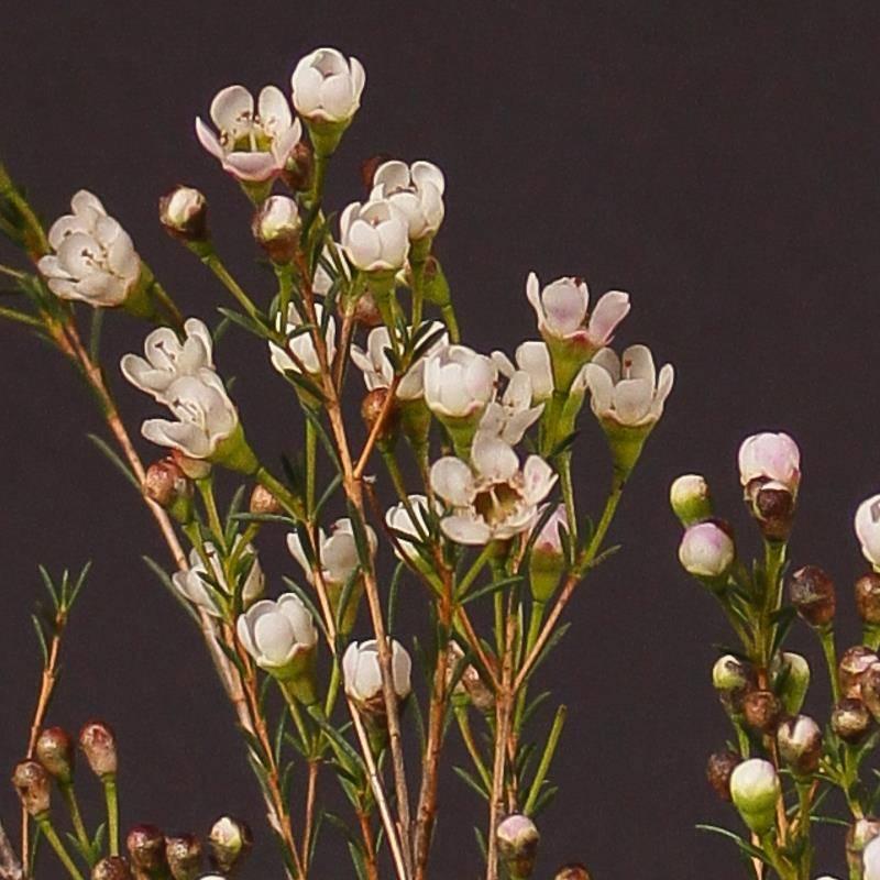 Хамелациум: выращивание в домашних условиях