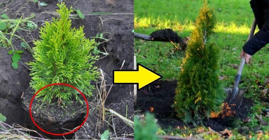 Посадка туи в сибири и уход за ней (22 фото): подходящие сорта для сибирского региона. как вырастить дерево и ухаживать за ним?