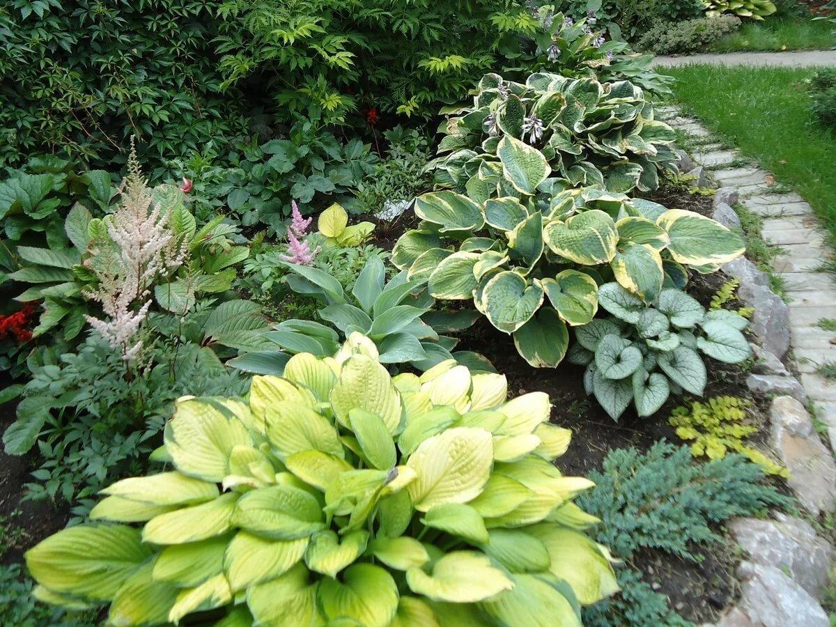 Чем подкормить хосту в июне. особенности выращивания хосты в саду