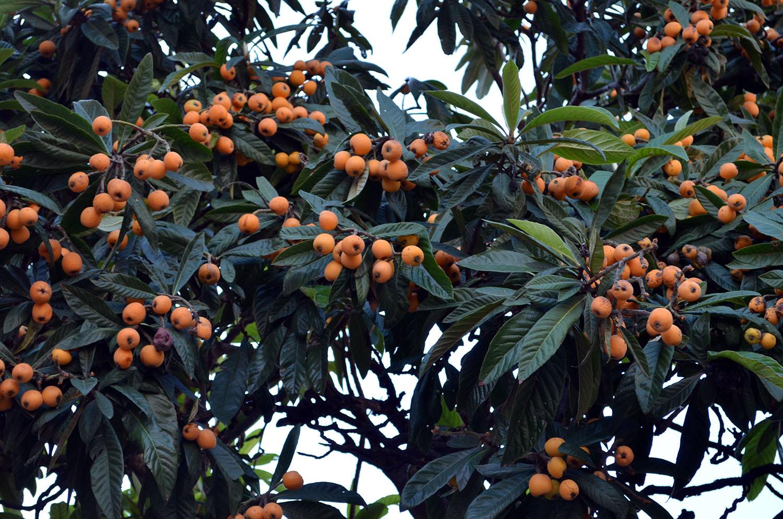 Фрукт мушмула — что это такое за дерево, уход