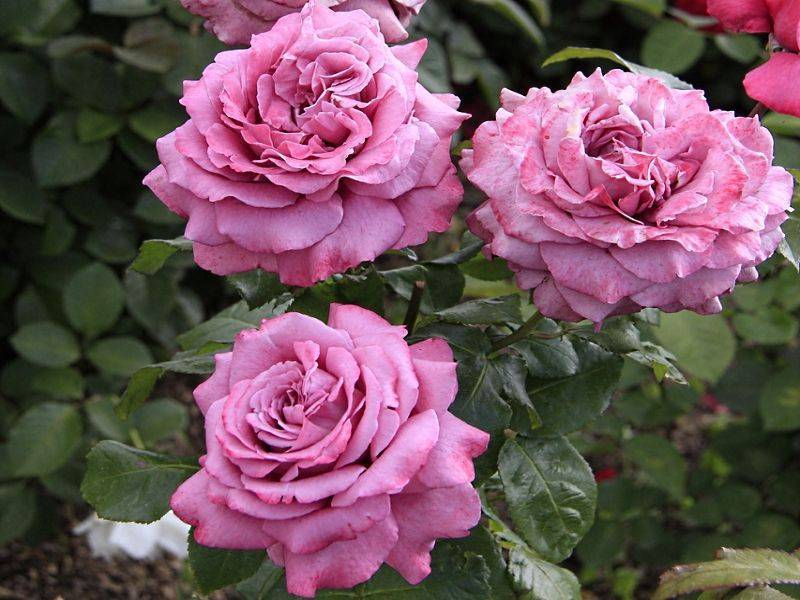 Как высаживать чайно-гибридную розу клод брассер: когда это делать, особенности