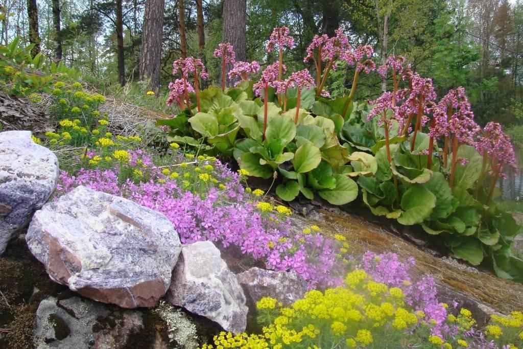 Выращивание цветков бадана в саду — правильное размножение и пересадка растения