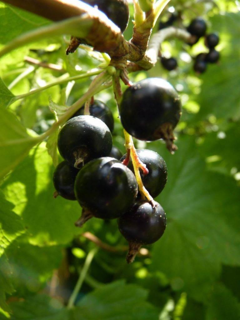 Гибрид смородины и крыжовника: как называется и как скрещивать