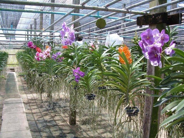 Орхидея ванда (vanda)