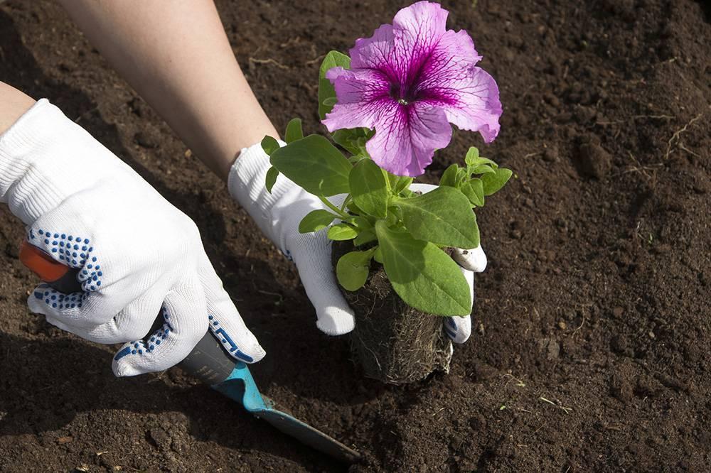 Выращивание лаватеры из семян - детальное описание процесса