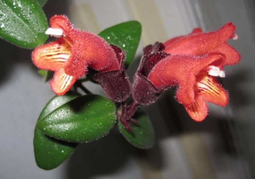 Выращивание катарантуса ампельного из семян: уход, лечебные свойства цветка