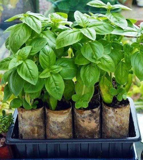 Условия выращивания растения базилик из семян в домашних условиях: правильный уход, урожай на окне и на грядке