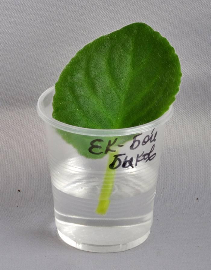 Выращивание фиалок из листа, укоренения и тд. - roza-i-fialka.ru