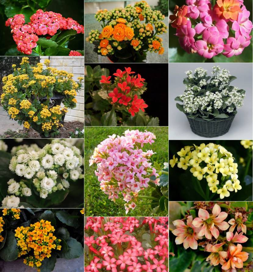 Цветок рео: 50 фото  и описание, виды, названия, уход