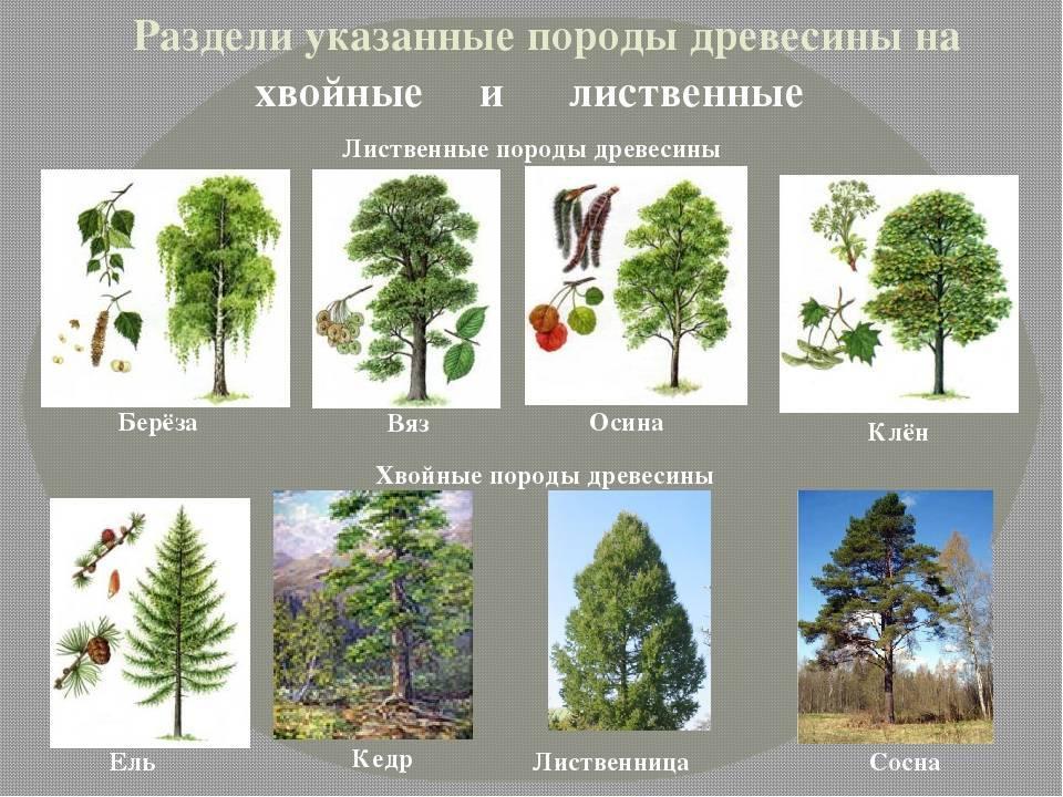 Какие бывают деревья в средней полосе — лиственные и хвойные деревья