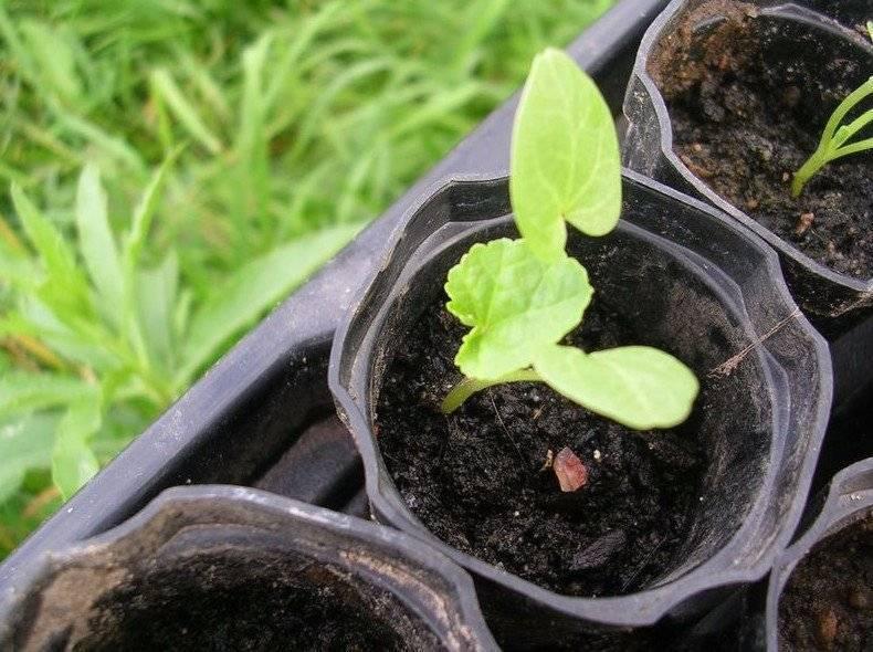 Лаватера: выращивание из семян, когда сажать, подходящий грунт