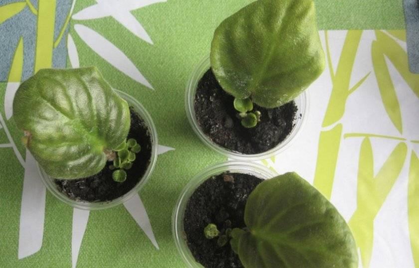 Руководство, как посадить фиалку из листа в домашних условиях