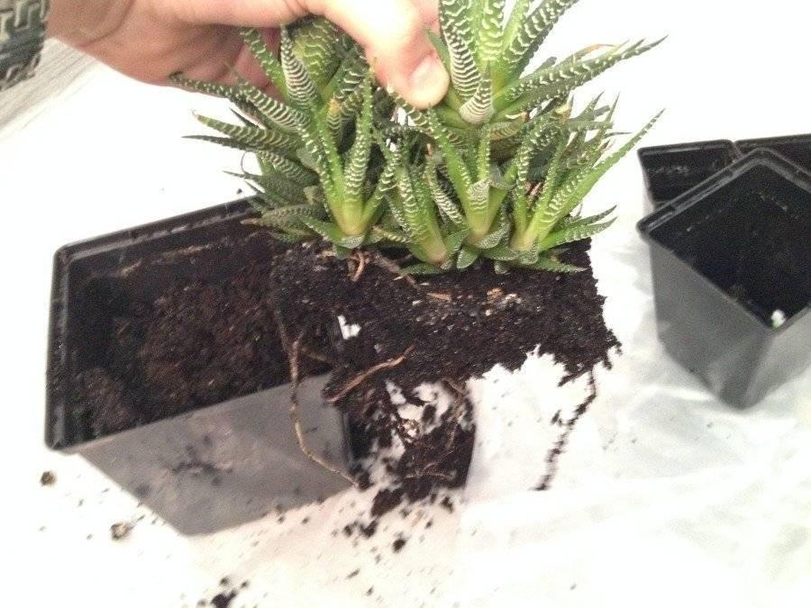 Хавортия полосатая (29 фото): уход за цветком в домашних условиях, особенности цветения и размножения. как правильно пересаживать?