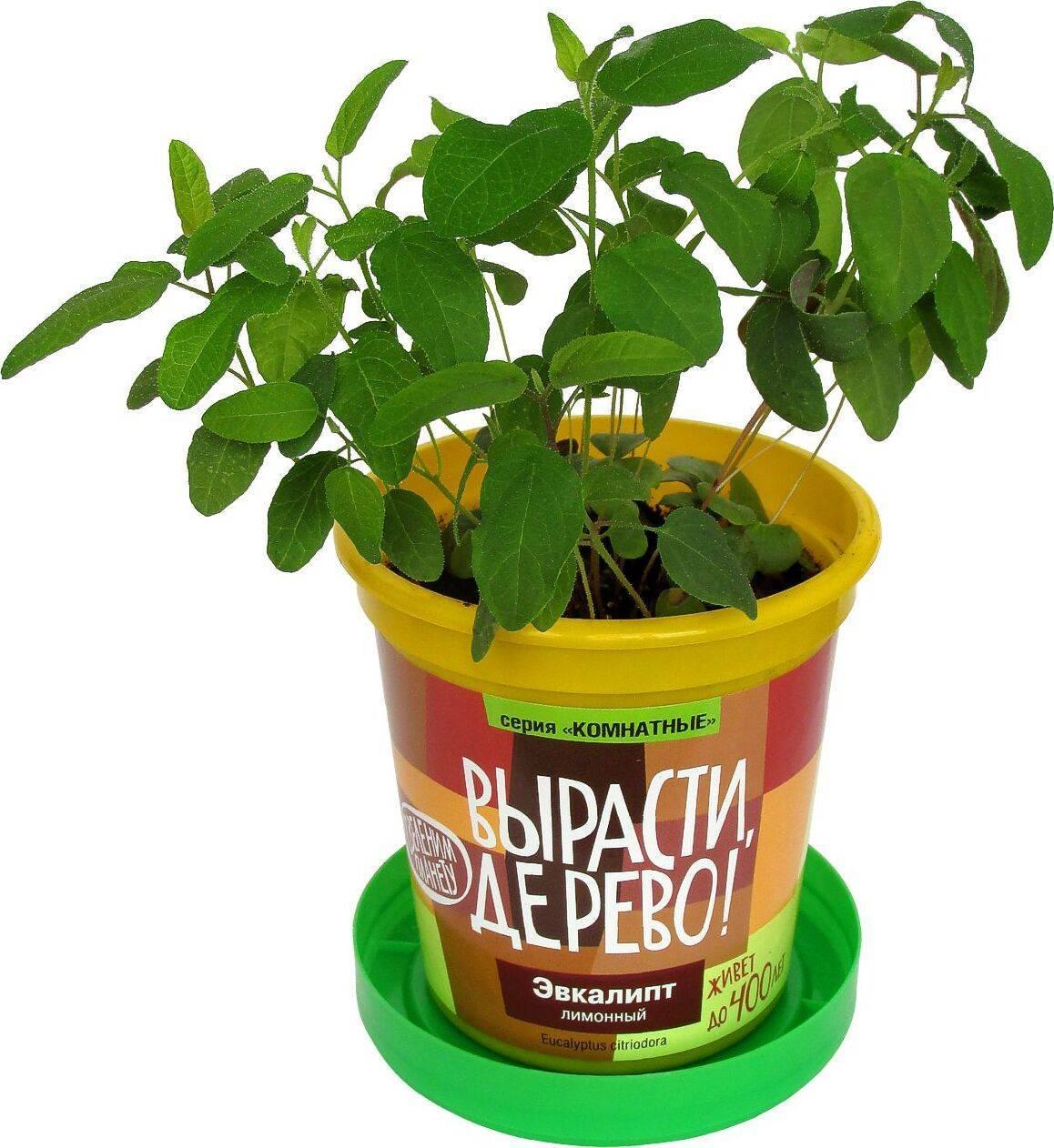 О выращивании эвкалипта лимонного как комнатное растение, дома в горшке