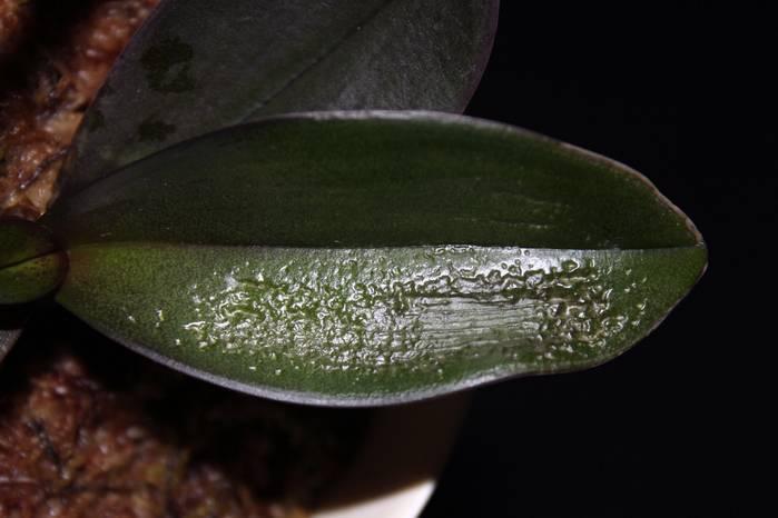 Пятна на листьях орхидеи фаленопсис: фото, причины появления темных, черных, желтых светлых точек на цветке, методы их лечения, а также что делать для профилактики?