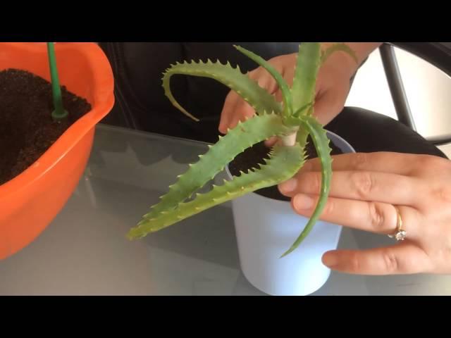Виды алоэ (столетника): все сорта растения с названиями и фото