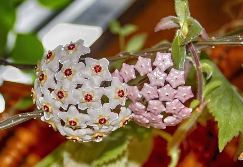 Приметы про растение хойя восковой плющ – можно ли держать дома