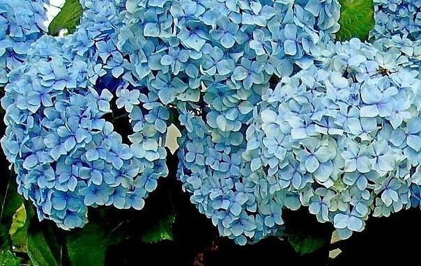 Чем поливать гортензию, чтобы она поменяла цвет?