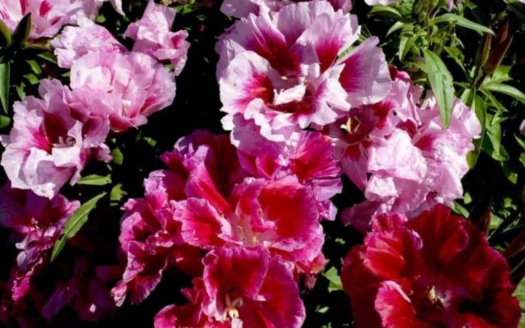 Выращивание цветов годеции из семян: когда сажать на рассаду и в открытый грунт