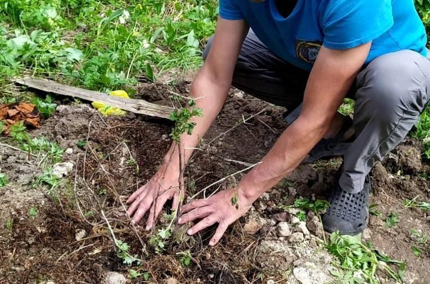 Крыжовник осенью: посадка и уход в саду, обрезка, пересадка, подкормка
