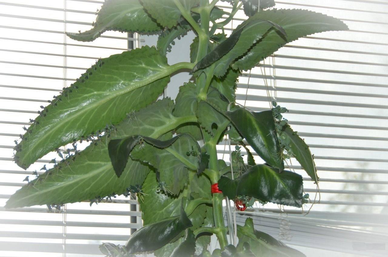 Каланхоэ - уход в домашних условиях, виды каланхоэ, цветение, размножение