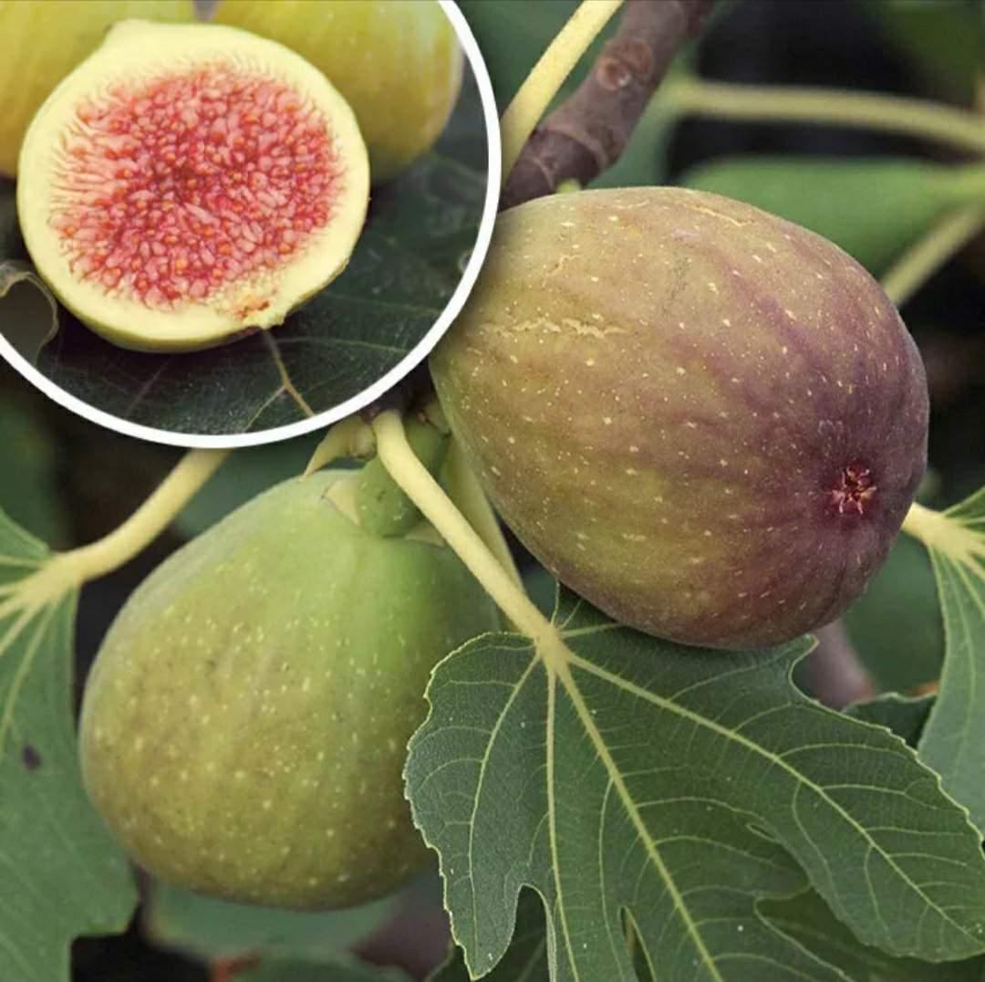 Инжир — это фрукт или ягода? что такое инжир или фига
