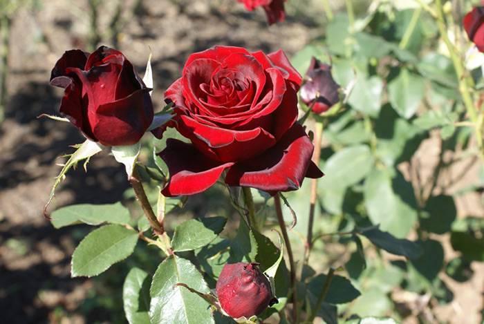 Роза блэк мэджик: фото и описание