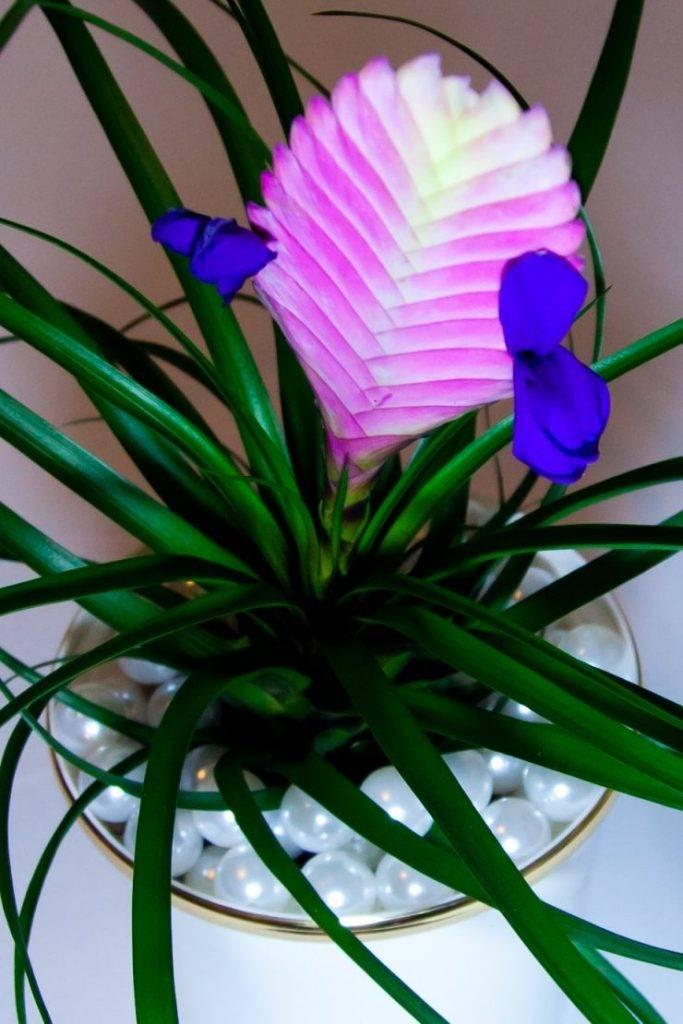 Экзотическая тилландсия: эпифитные и горшечные виды