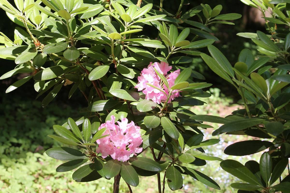 Что такое рододендрон «хельсинки юниверсити», как размножить растение и ухаживать за ним?