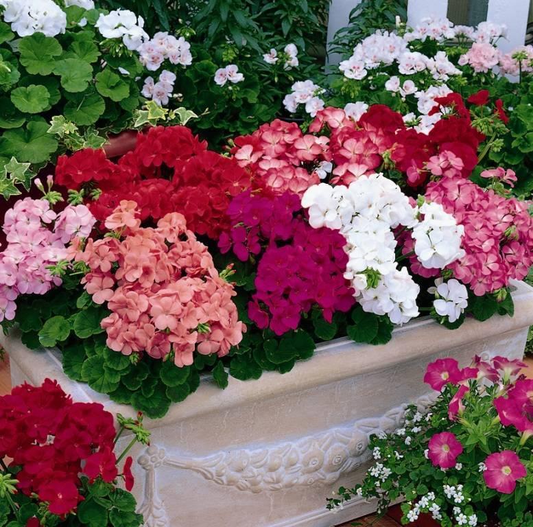 Разновидности садовой герани