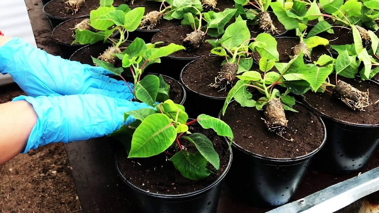 Цветок пуансеттия (молочай красивейший): как правильно ухаживать дома, как разводить черенками и бороться с болезнями