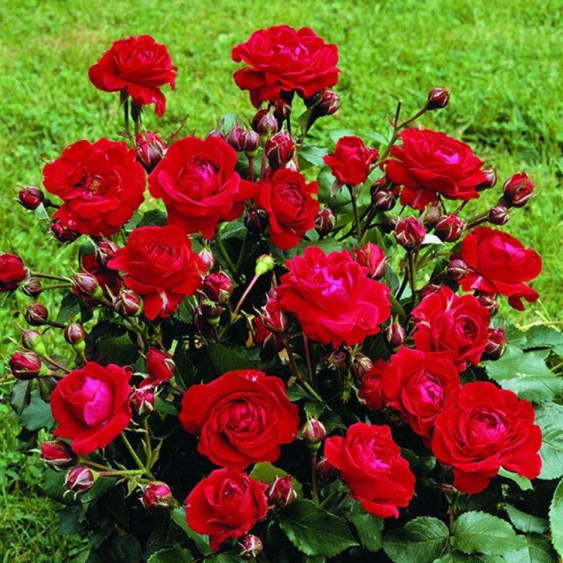 Роза флорибунда нина вейбул: характеристика сорта, технология посадки и ухода