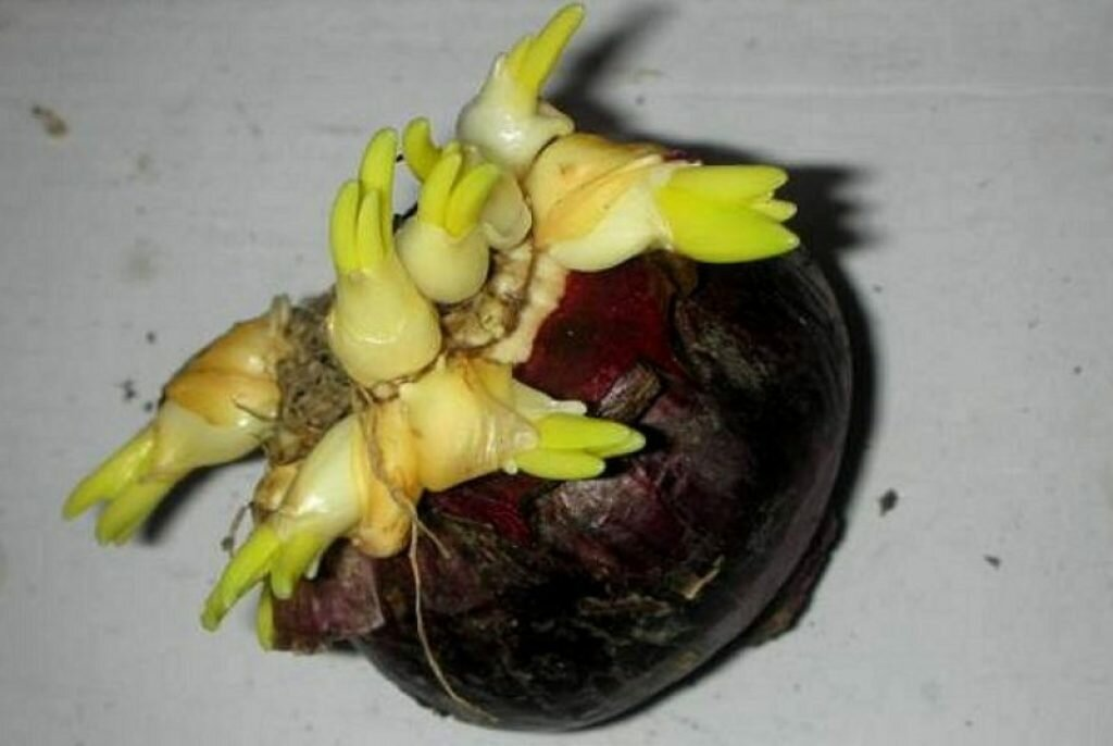 Отцвели тюльпаны? как сохранить их до следующего цветения?