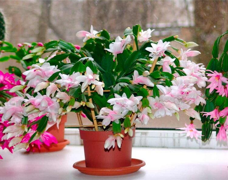домашний цветок зацвел в марте фото часто