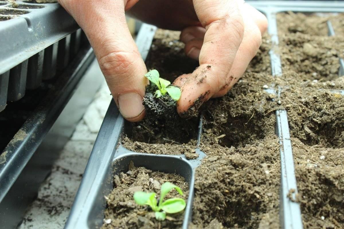 Выращивание аквилегии из семян, когда сажать посадка и уход, фото водосбора